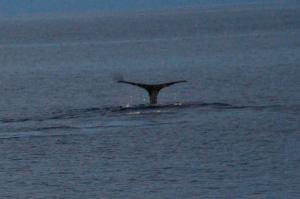 Shy Sperm Whales - photo by Mike Ferguson
